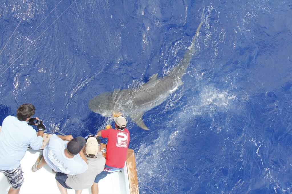 Tiger Shark Boatside at the BnM