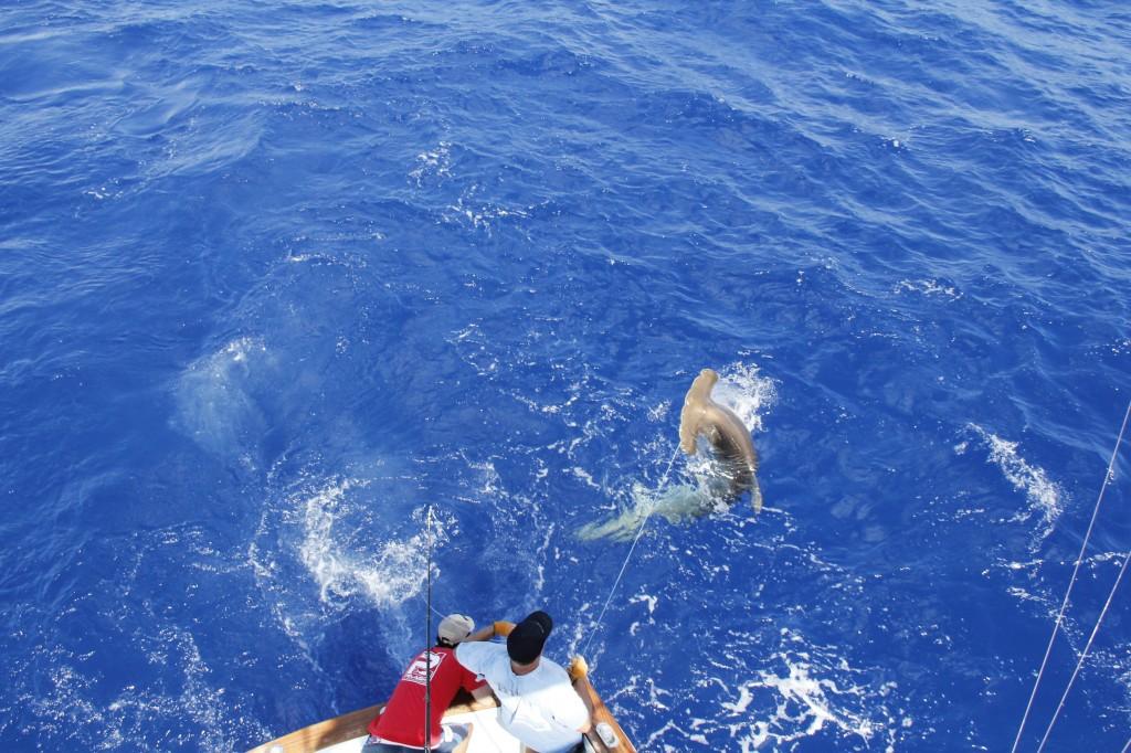 Matt on the BnM wrangles a 400+lb Hammer Head Shark to the Boat