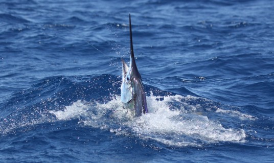 Miami Sailfish Charter - Breaching Sailfish off Miami Beach