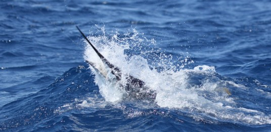 Miami Sailfish Charter - Sailfish headshake off key biscayne