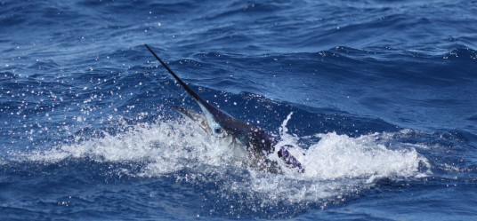 Miami Sailfish thrashing off Miami Beach during a charter