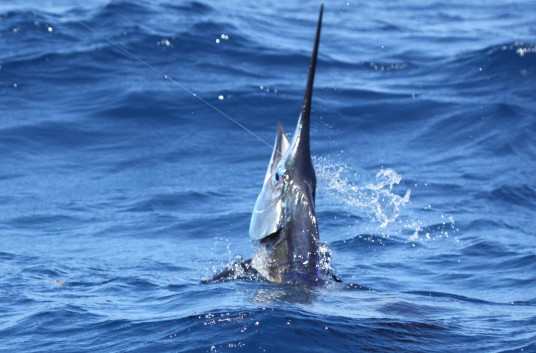 A miami sailfish leaps out of the water after eating a bait while kitefishing