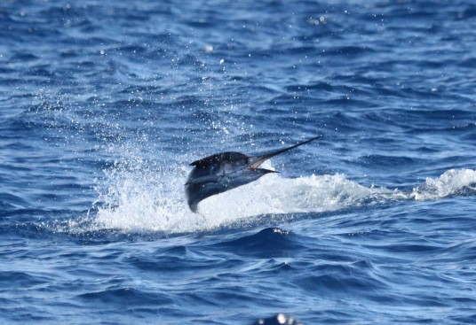 Miami Sailfish Charter - Sideways jumping sailfish