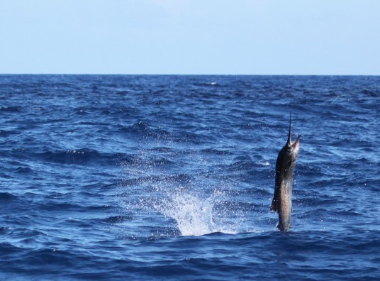 tailwalking sailfish off miami