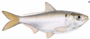 threadfins