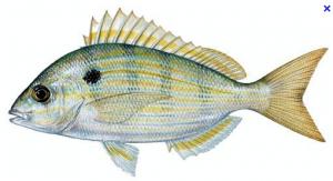 live pinfish