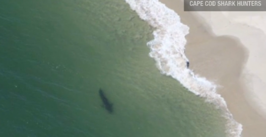 Great White Shark off the beach at Cape Cod
