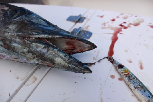A wahoo caught while vertical jigging hardly hooked in the top of the mouth