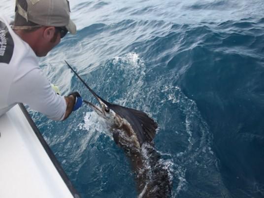 Capt. Charlie Ellis Releases a Miami Sailfish