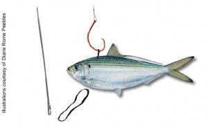 Hook up live bait