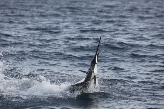 Sideways Miami Sailfish Tailwalking across the surface
