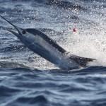 Miami Sailfish caught while kitefishing off Key Biscayne