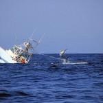 Marlin sinks boat
