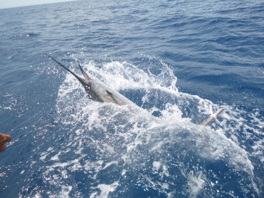 Miami Sailfishing aboard the Marauder