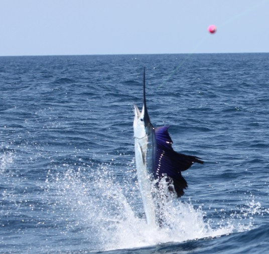 Epic lit up sailfish off Miami