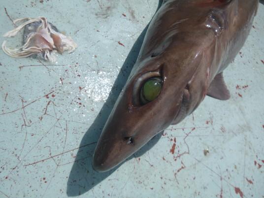 Big eye six gill shark
