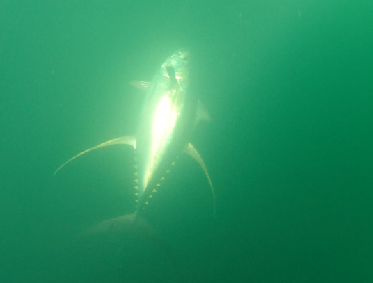 Underwater image of giant yellowfin tuna in venice, LA