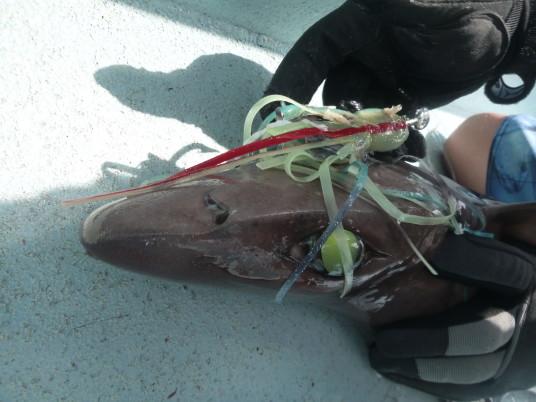 Big Eye Six Gill Shark caught while daytime swordfishing