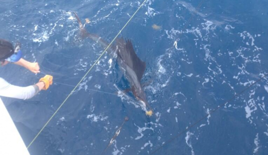 Capt. Todd Malicoat releasing a sailfish