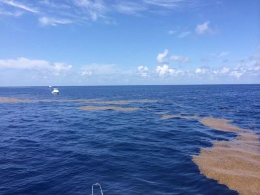 sargasm weed line off miami, FL