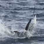 fastest fish - Atlantic sailfish