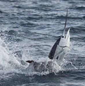 fastest fish - Atlantic sailfish