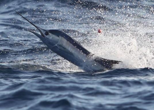 best-sailfish-photo-fullsize