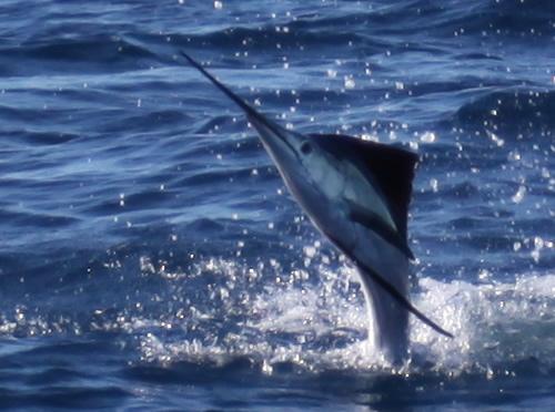 little-sailfish