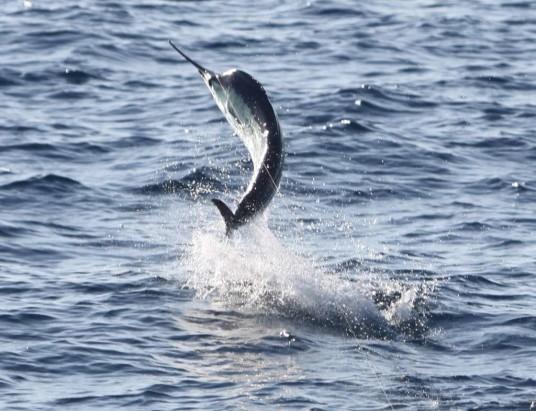 sailfish-jumping