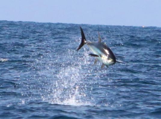 leaping yellowfin tuna