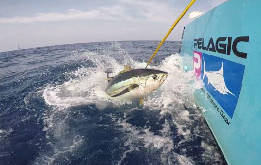 Yellowfin tuna Pelagic promotional