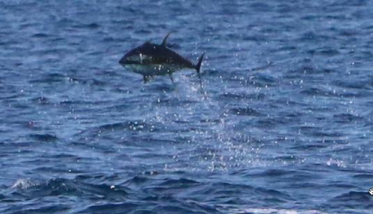 runaway yellowfin tuna