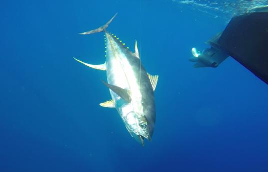 underwater perfect tuna angle